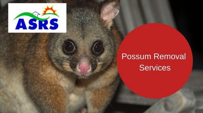 Possum removal in Sydney