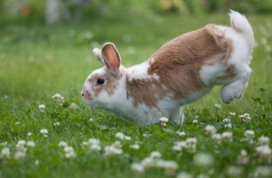 Information About rabbit